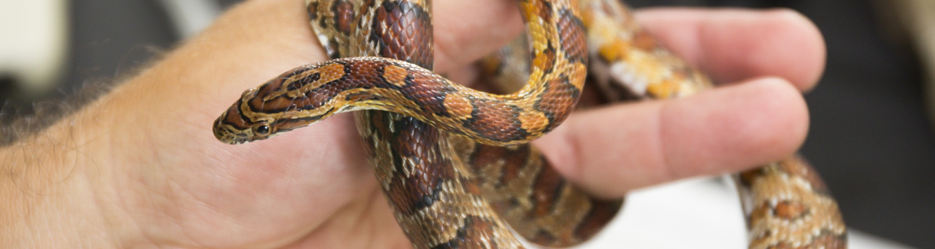 A nonvenemous snake being held