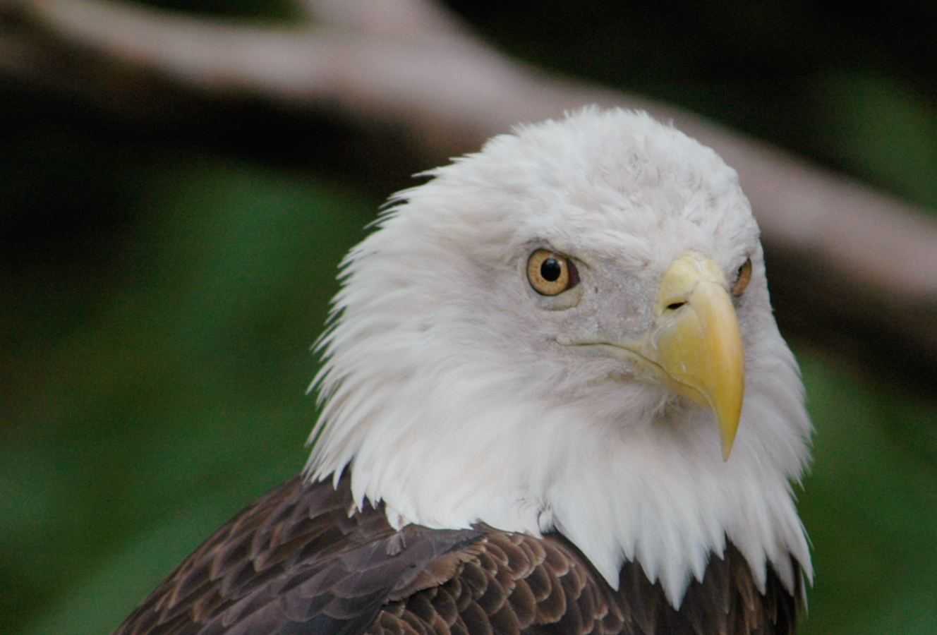 Bald Eagle UF/IFAS Photo: Josh Wickham.
