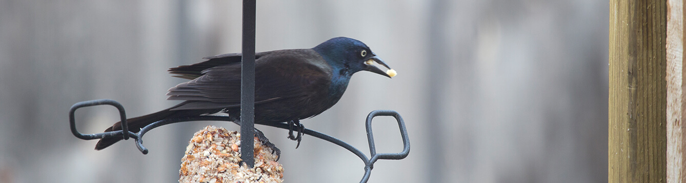 crow bird feeder