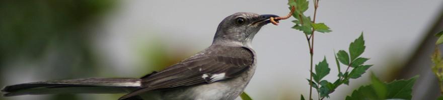 ordway-mockingbird