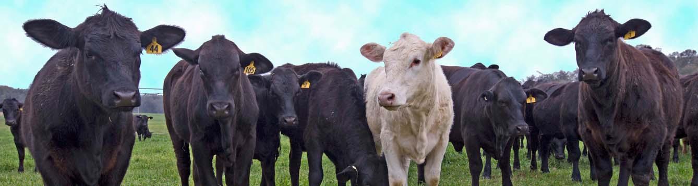 Pasture school for livestock