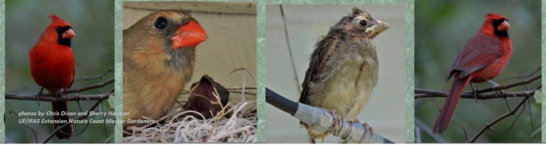 crape myrtle provides perch for cardinals