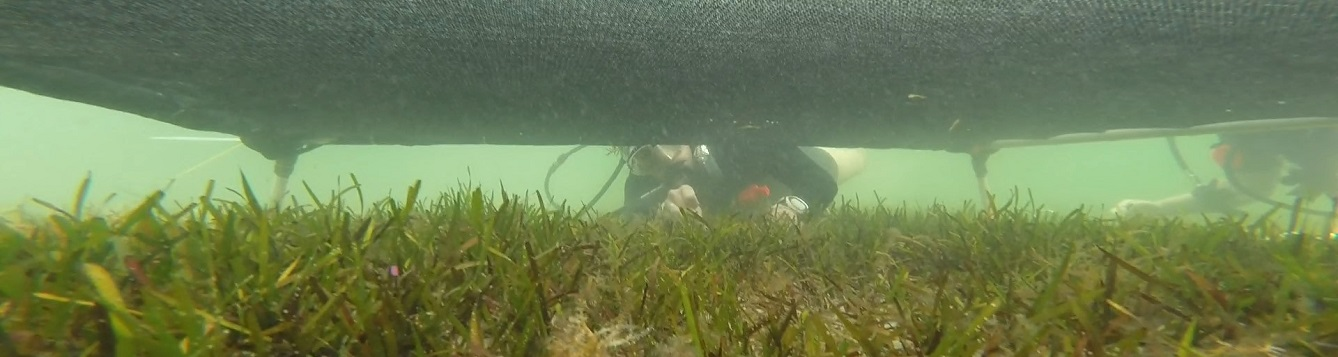 a diver studies seagrass