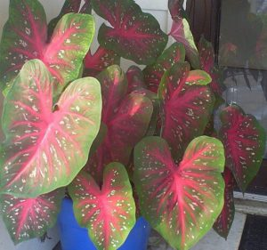 Heart shaped green caladium with red veins grown in a container.