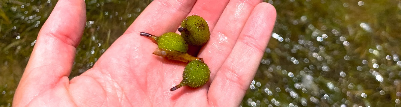 turtle grass fruits in hand