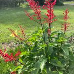six inch spikes of red tubular flower suit its name, firespike