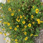 yellow flowers with brown centers