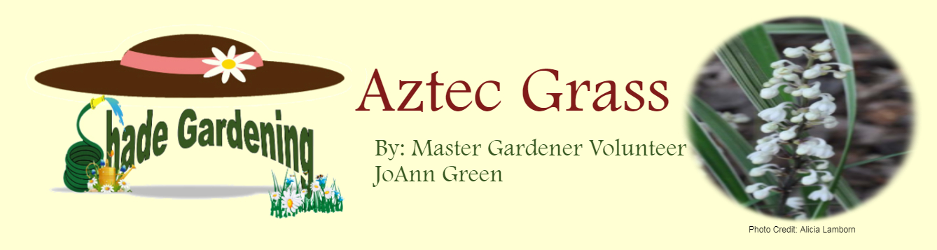 Aztec Grass June 2020