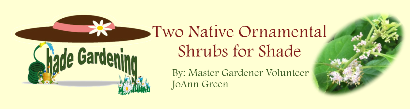 Two Native Orn Shrubs July 2020