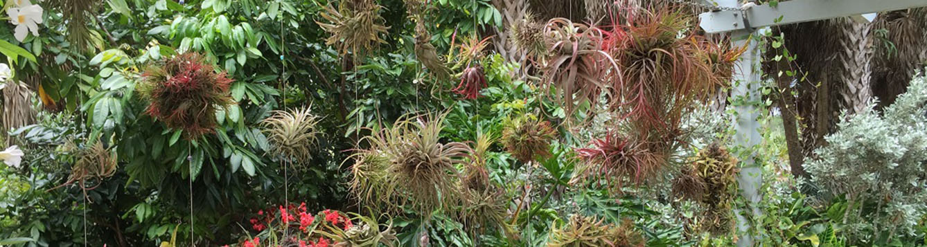 A garden wall of Tillandsia plants