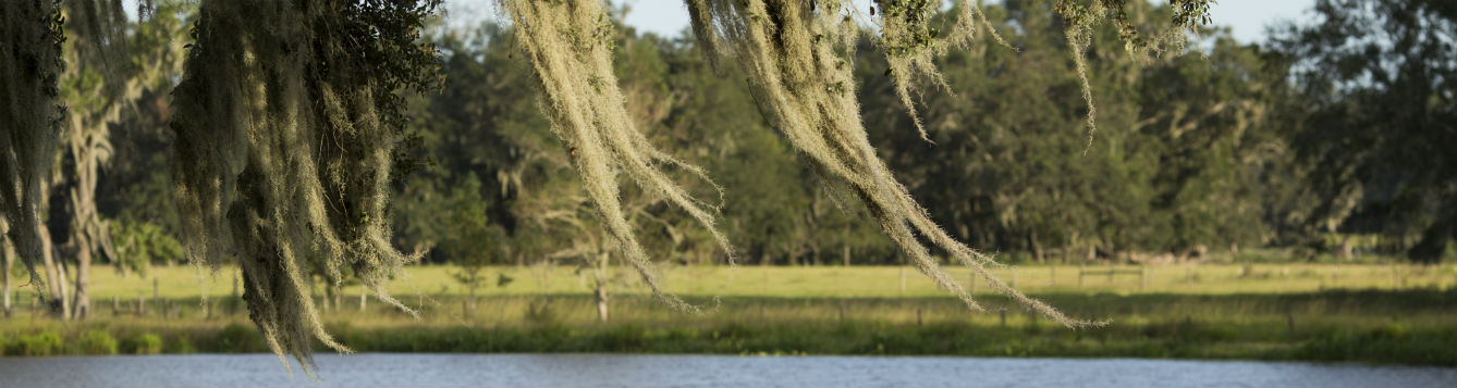 Spanish Moss hanging from oak tree