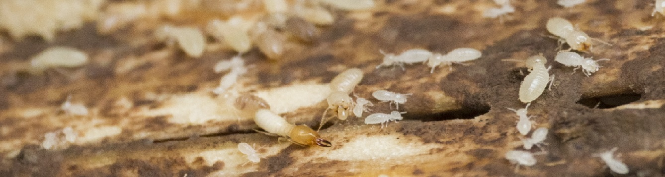 This is a photo of adult and young termites.