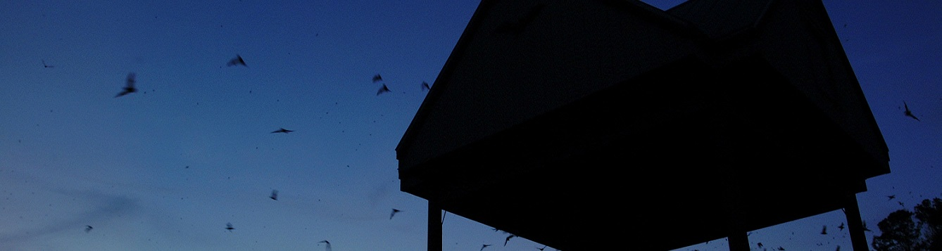 Bats leaving the bat house in the evening.
