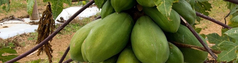Papaya cluster