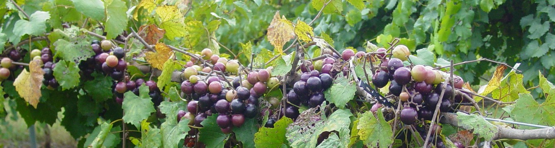 musc grape2 info.ncagr.gov