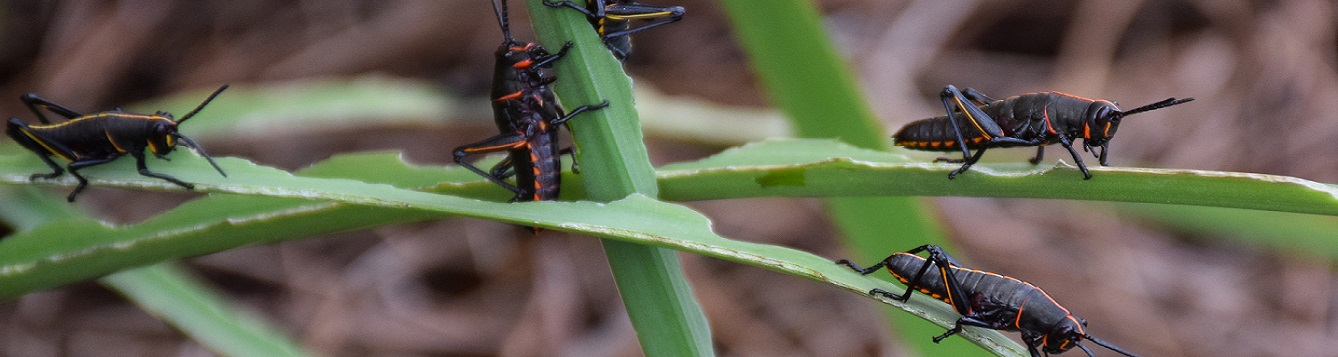 Lubber Grasshopper Nymphs