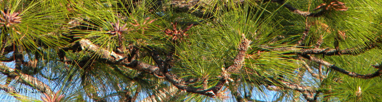 closeup of longleaf pine trees