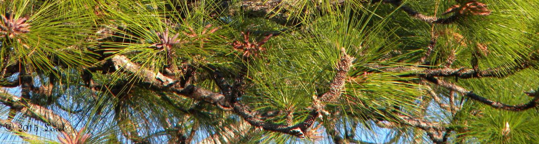 closeup of longleaf pine trees