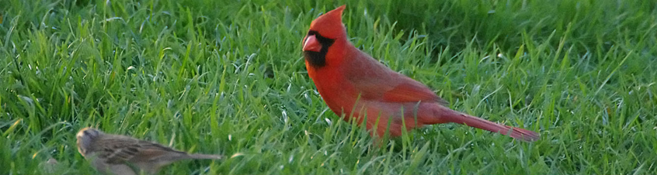 Backyard Birds - Cardinal