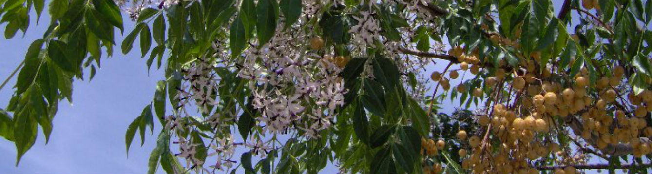 The invasive Chinaberry tree is highly toxic