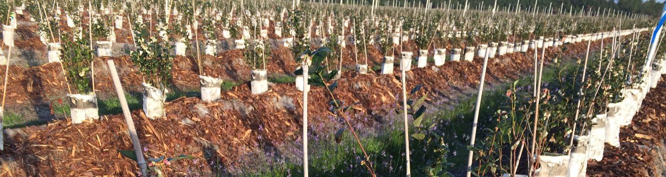 Young blueberry plants can be cropped at planting without long term effects on growth