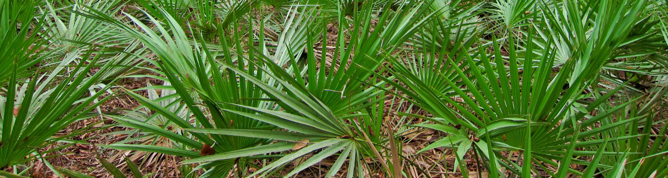Central Florida Palms