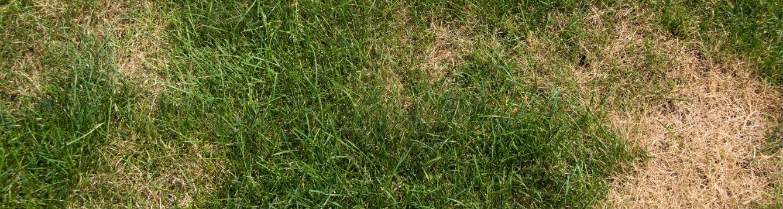 Fungal lawn diseases