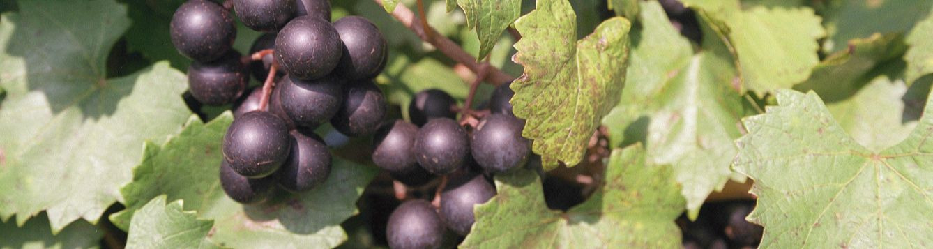 photo of muscadine grapes on the vine