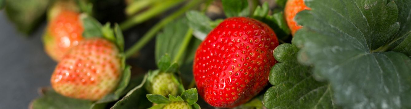 Strawberries on plant