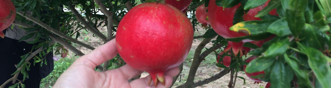 Hand holding ripe pomegranate on tree