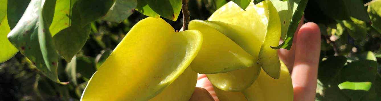 hand picking a carambola fruit