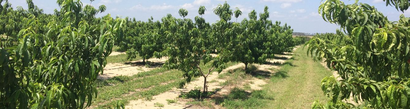 two year old peach trees in an orchard