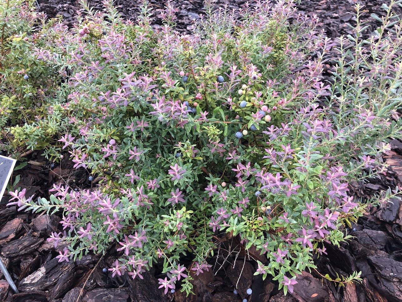 Darrow's blueberry bush