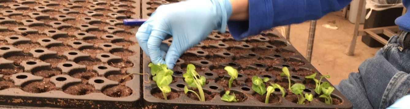 an agricultural worker starts new seedlings in trays; agricultural employers must manage COVID-19 to keep workers safe