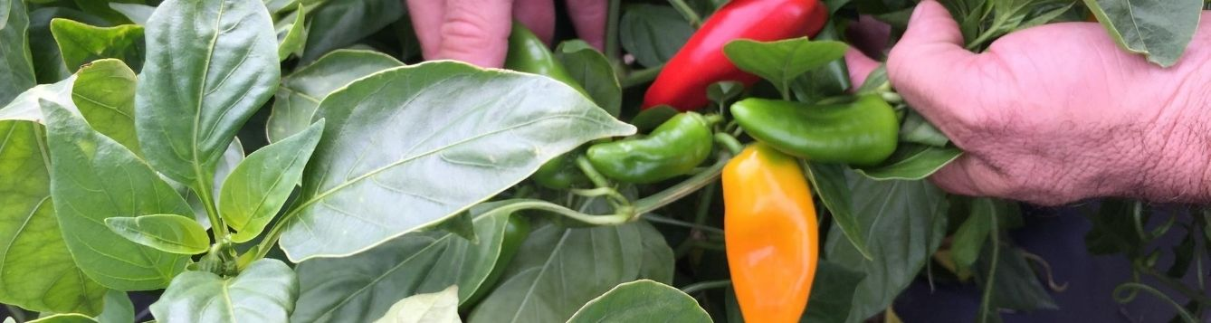sweet pepper ready for harvest; agricultural employers need to know steps they can take to keep their workers safe during the pandemic