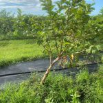 leaning fruit tree after TS Eta