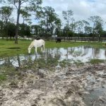 norses forage in pasture with standing water