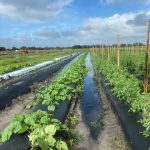 flooded field where mix of vegetables are being grown