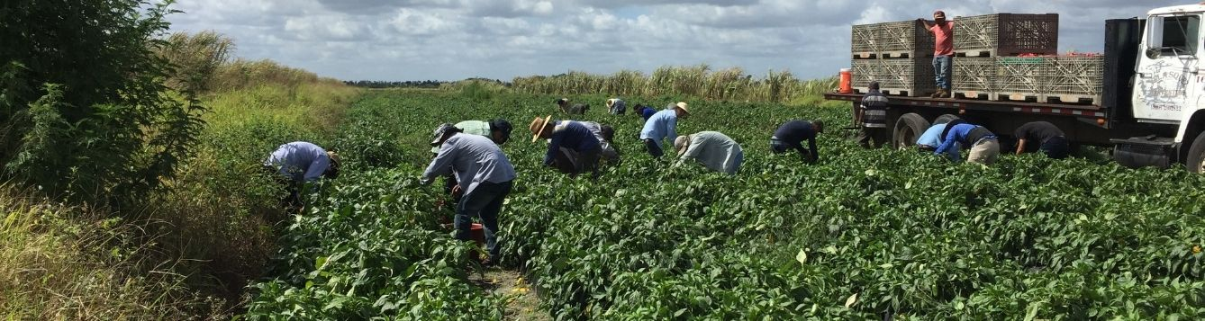Farmworkers harvesting food crop in Martin County.
