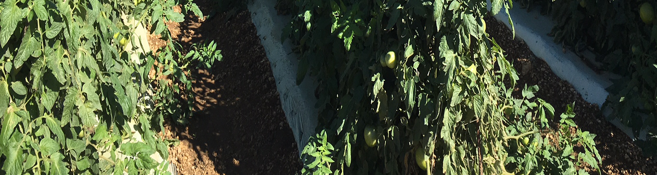 Late Blight Disease on Tomato Plants
