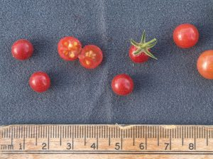 Everglades tomato measured in millimeters