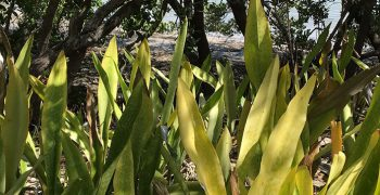 Sanseveria growing into Buttonwoods and Mangroves