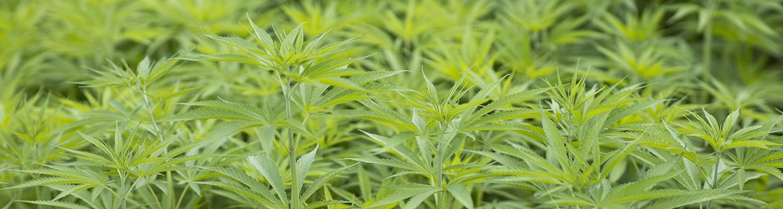 green industrial hemp plants