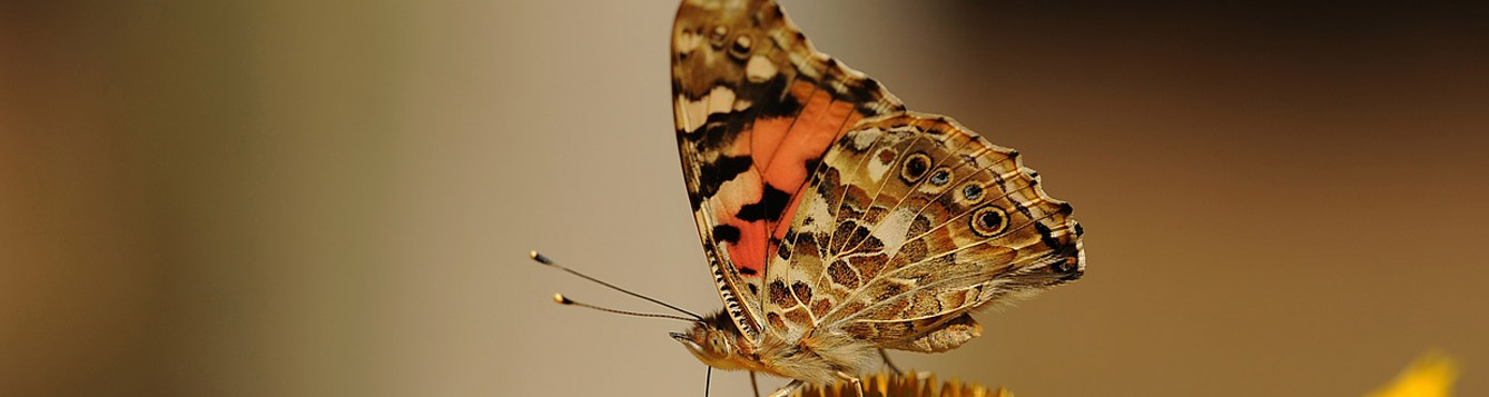 Vanessa virginiensis, Painted Lady Butterfly