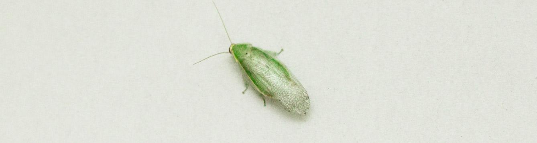 Panchlora nivea, Cuban cockroach, green banana cockroach