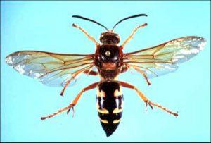 Giant_cicada_killer_UFIFAS