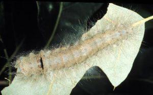 Tolype_velleda,_larva,DaveWagner