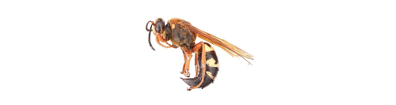 Cicada Killer Wasp (Crabroninae, Sphecius speciosus)