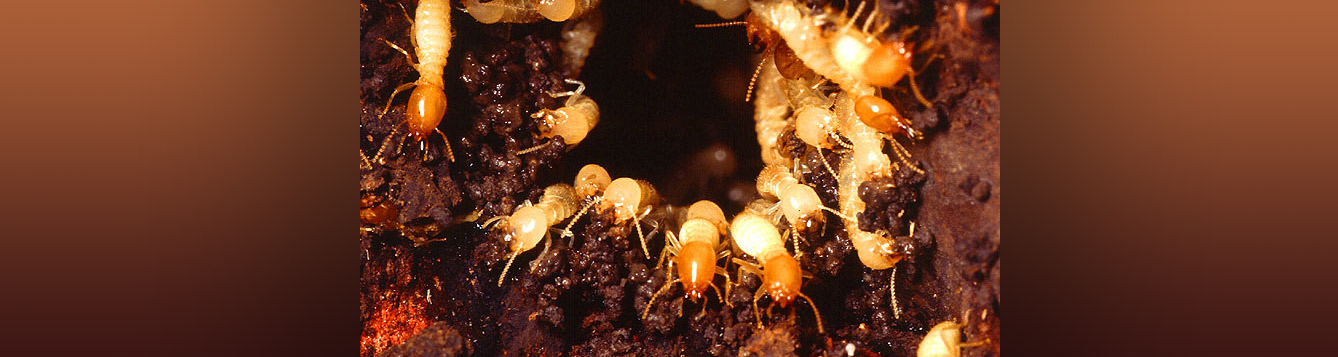 A Formosan subterranean termite nest with workers and soldiers