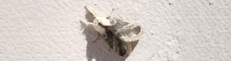 Tolype velleda - Large Tolype Moth